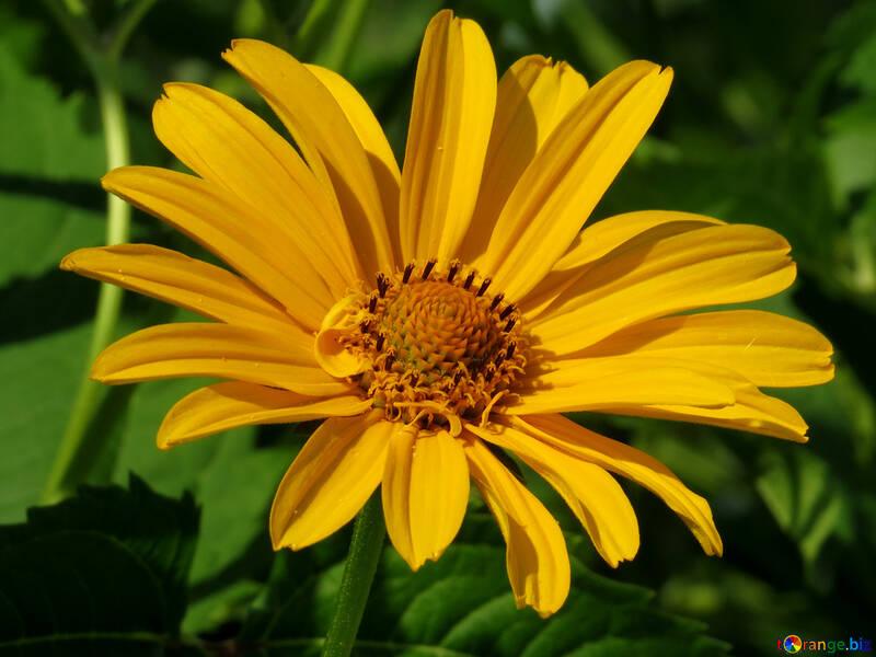 Daisy flowers daisy summer \u2116 27055