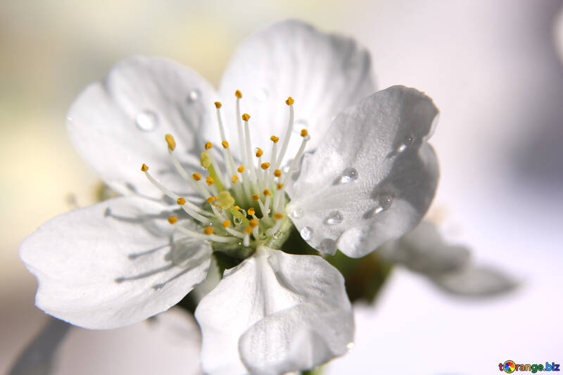 Цветок с росой №27078