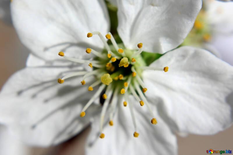 Цветок плодового дерева №27082