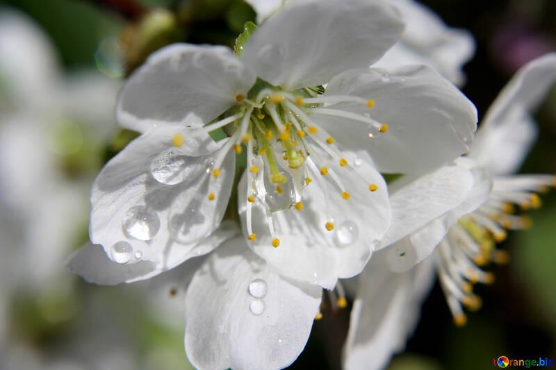 Слезы цветов №27070