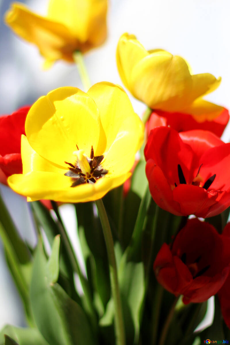 Background bouquet of tulips №27428