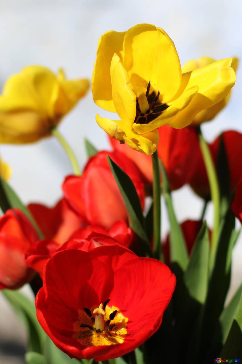 Blumenstrauss Tulpen Blumen Fruhjahr Stimmung Tulpe 27426