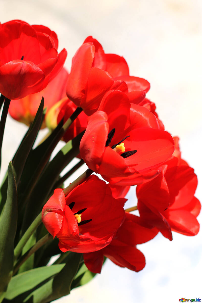 Bouquet of red tulips №27446