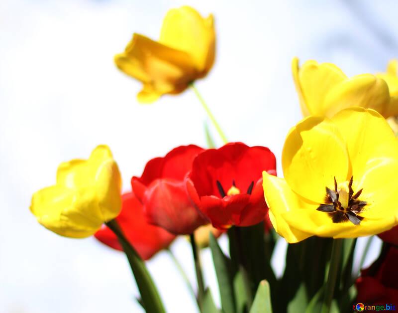 Background destkop spring tulips №27427