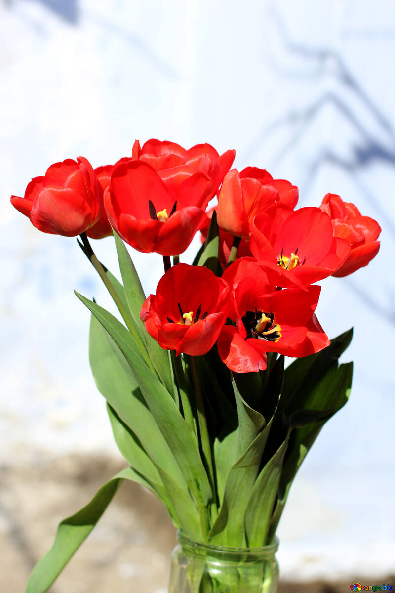 Red tulips №27453