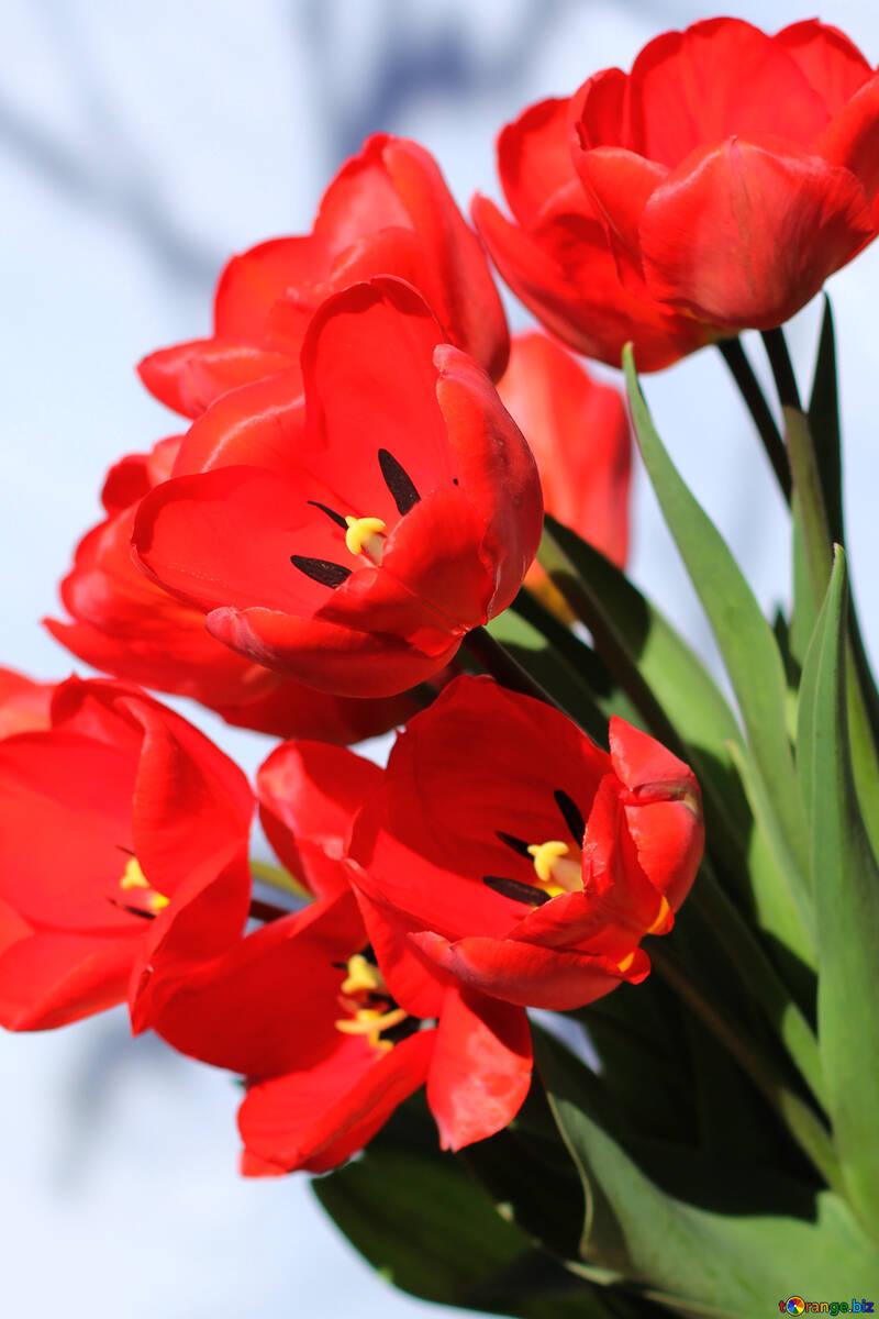Hintergrund der Postkarten rote Tulpen №27447