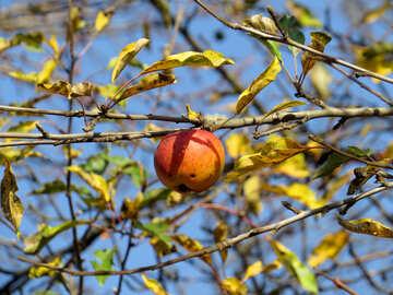Autumn apple №28786