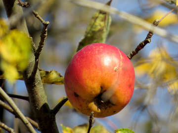 Winter Apple №28784