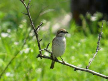 Gray bird №28184