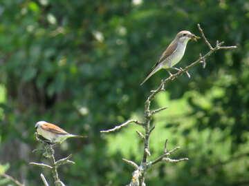Shrike pair №28181