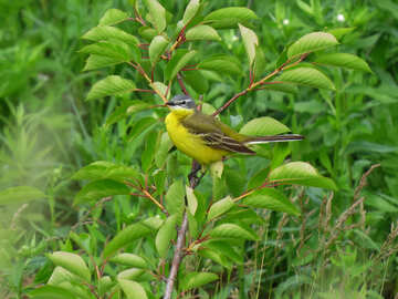 Bright beautiful yellow bird №28276
