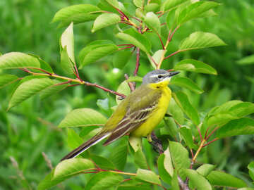Yellow Wagtail №28273