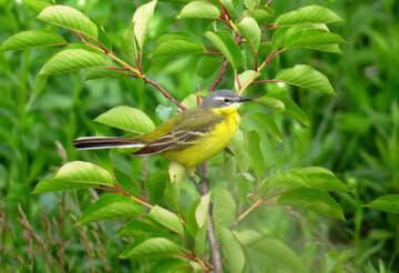 Yellow bird №28275