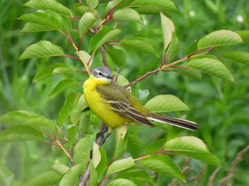 Yellow bird with long tail