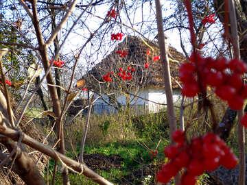 Viburnum bush near the house №28215
