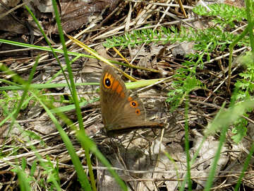 Meadow Brown butterfly №28266