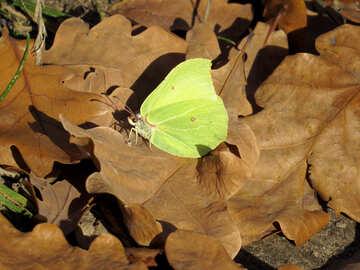 Lemon butterfly №28771