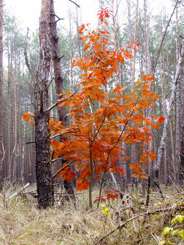 Red tree in the forest №28329