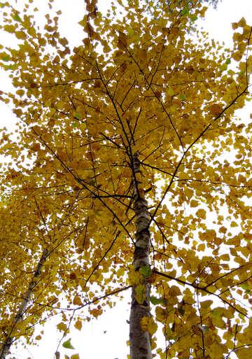 Autumn birch №28304