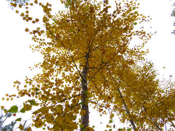 Yellow leaves on birch №28303