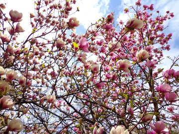 Magnolia №28388