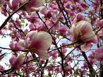 Blooming magnolia №28386
