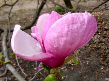 Magnolia flower №28389