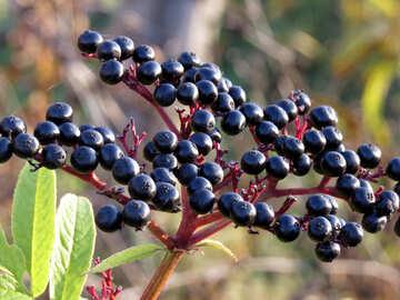 Sambucus nigra №28502