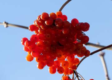 Viburnum berries №28782