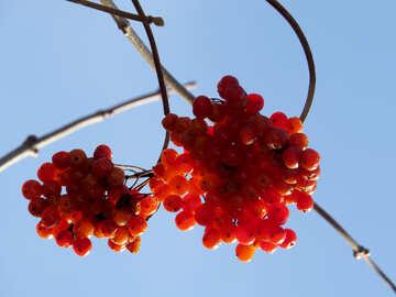 Ripe red viburnum №28781