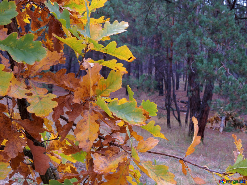 Autumn Beauty №28335