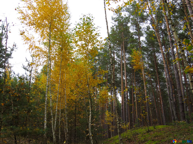 Березовая осень №28300