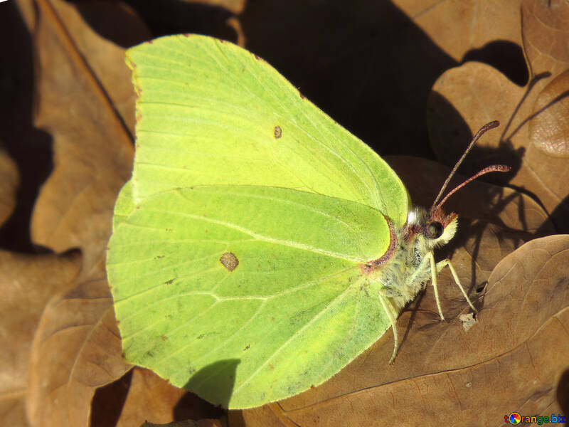 Yellow green butterfly №28770