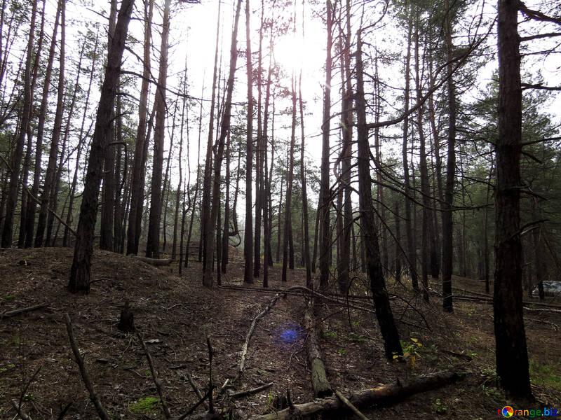 Солнце в лесу №28320