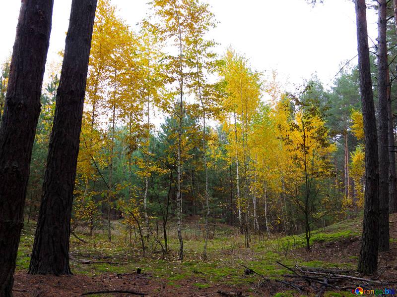 Peintures de forêt d`automne №28309