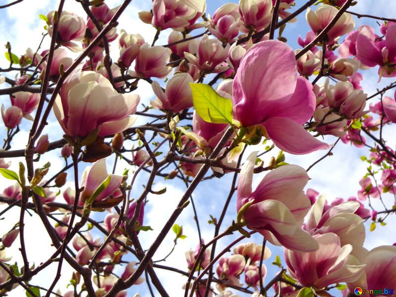 Magnolia Blossoms №28387