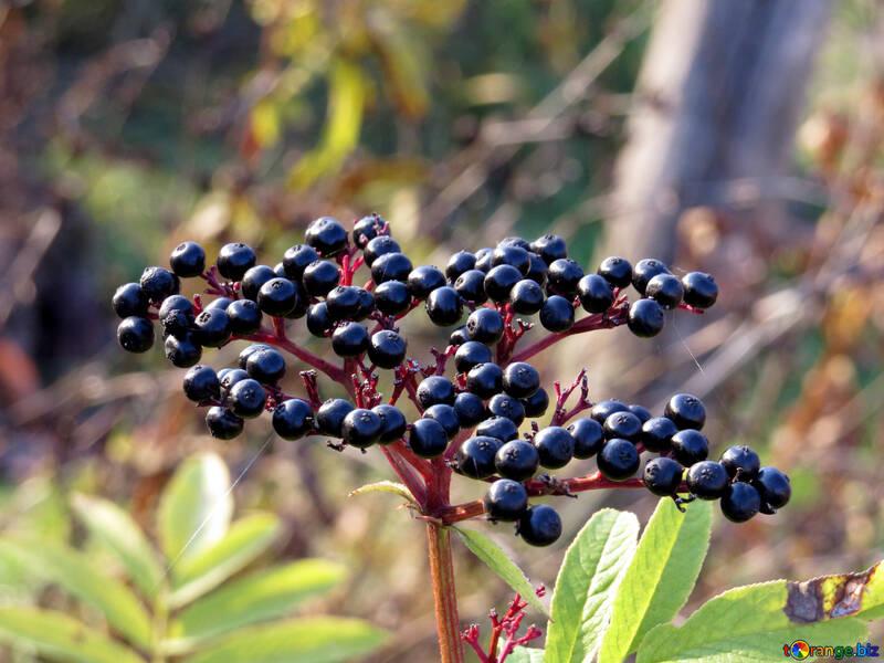 Elderberry №28501