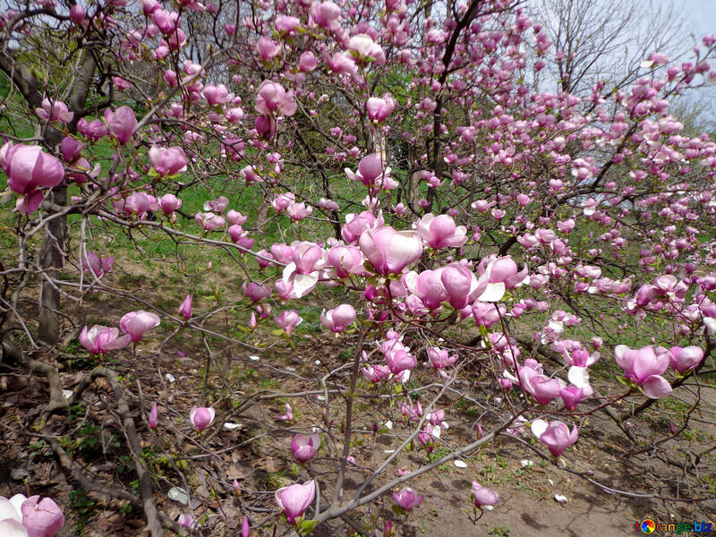 Magnolien Blüte №28385