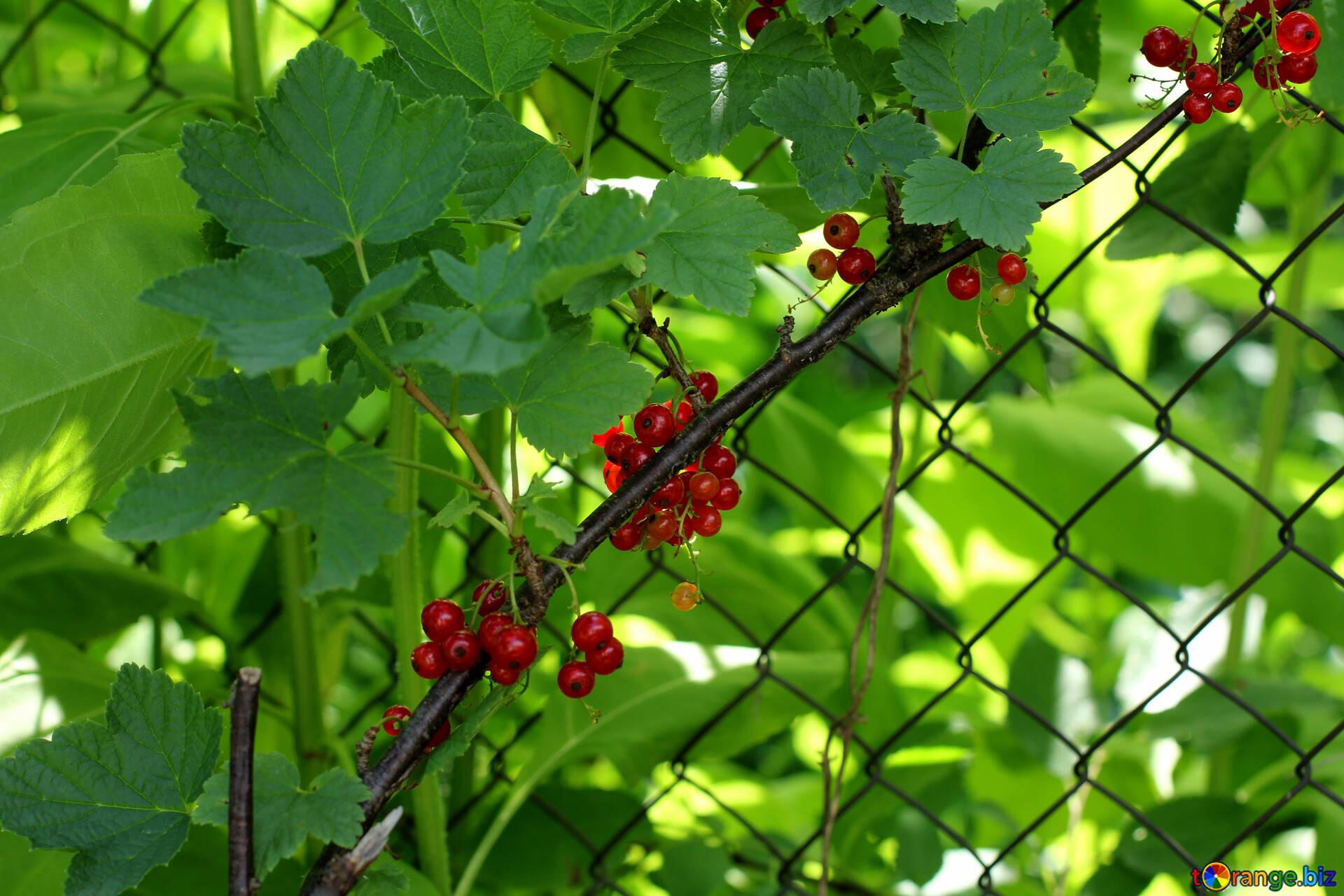 Baya De La Pasa De Color Arbustos De Grosellas Lo Largo De La Valla - Arbustos-para-vallas