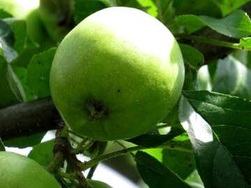 Apple on tree №29047