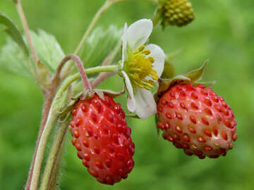 Strawberry №29451