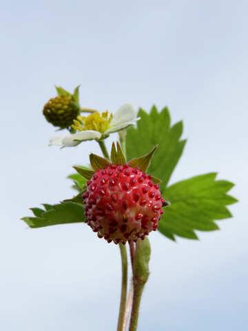 Strawberry №29467
