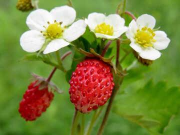 Strawberry №29488