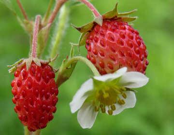 Strawberry №29449
