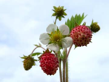 Strawberry №29456