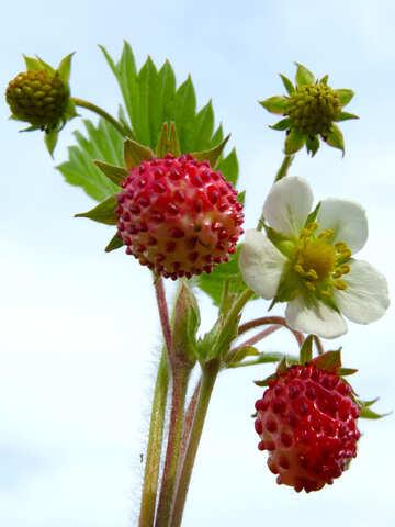 Strawberry №29457