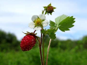 Strawberry №29462