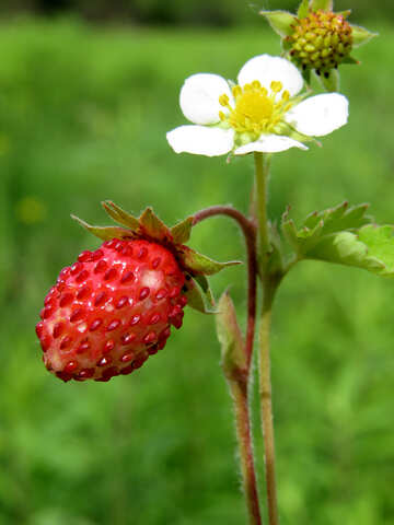 Strawberry №29468
