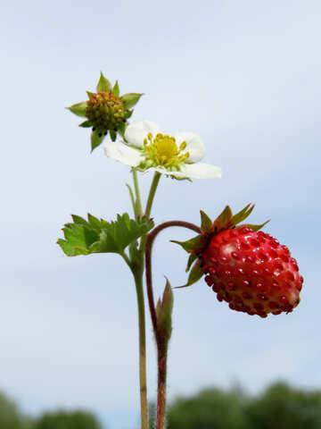 Strawberry №29470
