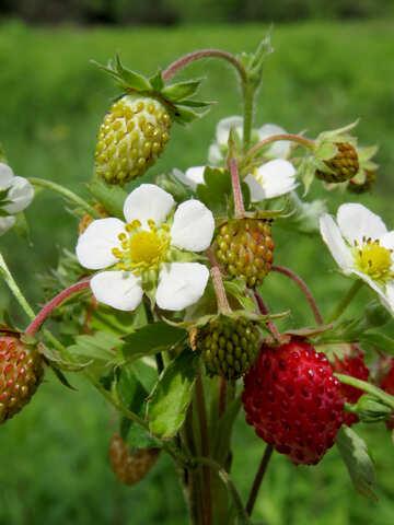 Strawberry №29478